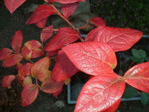 リベイルの紅葉