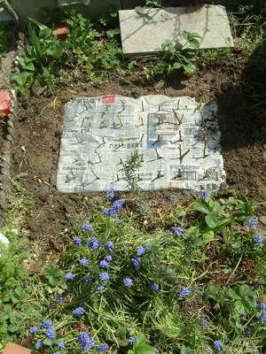 地植挿し木、新聞紙マルチ