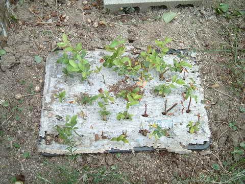 地植挿し木1