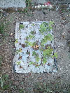 地植挿し木2