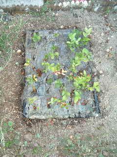 地植挿し木3