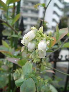 ブルーベリー不明の花