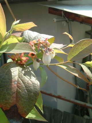 ホームベル花