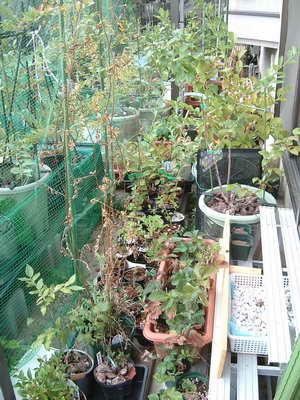 ブルーベリーの庭8