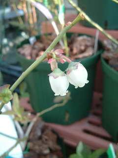 バークレーの花