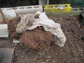ティフブルーの根
