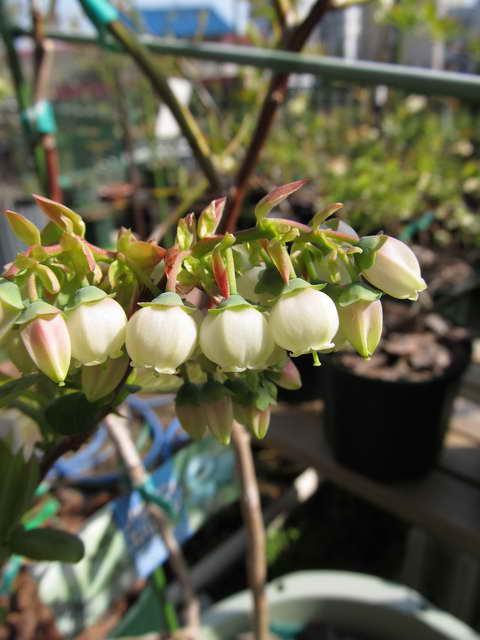 スパルタンの花