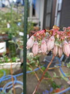 ティフブルーの花