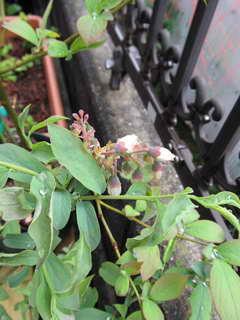 ノビリスの花