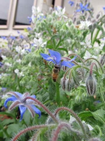 ミツバチ、ボリジ青