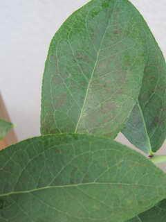 デライトの葉
