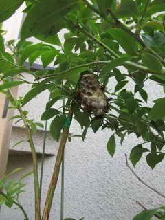 ティフブルーの蜂の巣