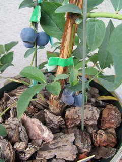 ブライトウェルの果実