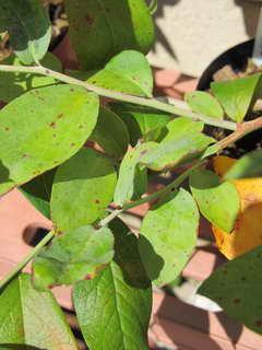 ウッダードの葉2