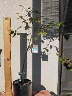 ブルーレイの親木