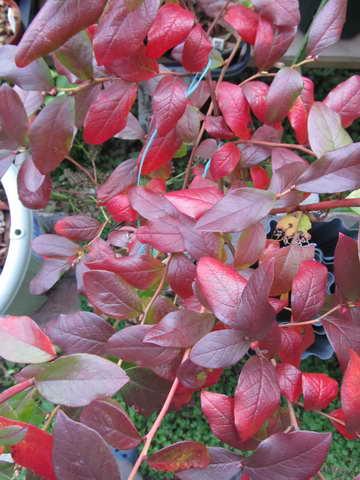 パトリオットの紅葉