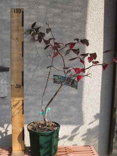 スパルタン接木の植え替え前