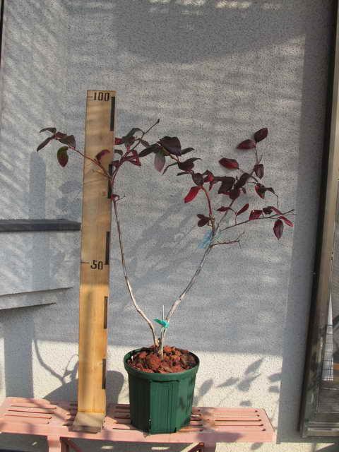 スパルタン接木