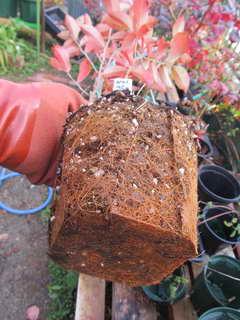 ブルーシャワーの根鉢