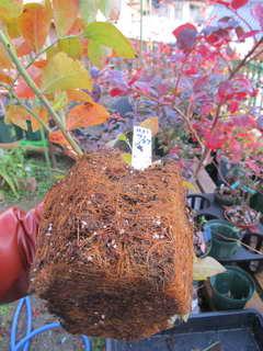 ブルーベルの根鉢