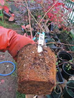 オニールの根鉢