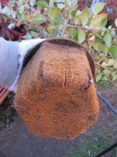 シャシャンボの根鉢