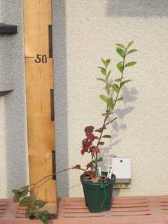 アーリーブルー台木のシュート