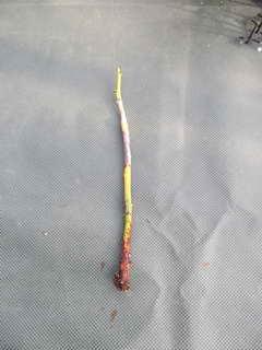 根のない接木プル
