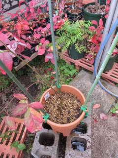 ブラックベリー植え替え2