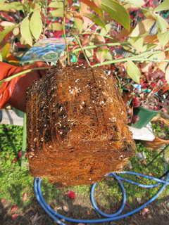 フクベリーの根鉢