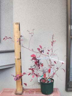 ノビリス挿し木