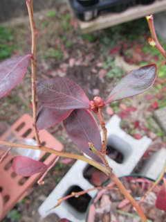 ジョージアジェム[89]/サザンハイブッシュ系ブルーベリーの花芽