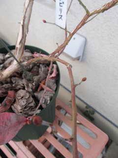 ノビリスの花芽