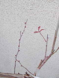 ノビリスの花芽2