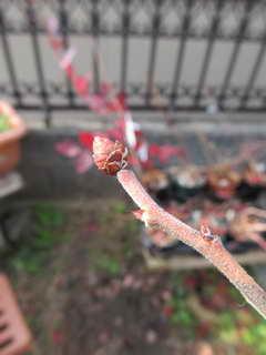 プルの花芽を摘蕾