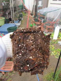 デュークの根鉢