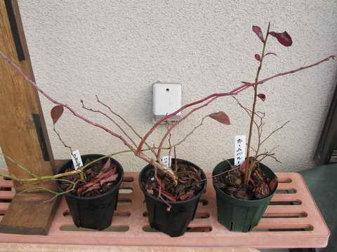 ブルーベリーの接木用苗