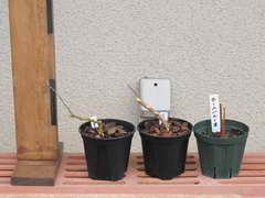 ブルーベリー接木用苗を成形