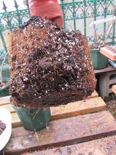 コリンズの根鉢