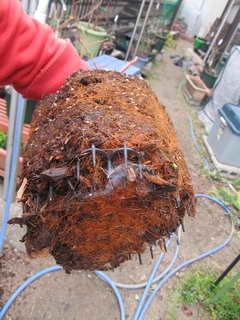パトリオットの根鉢