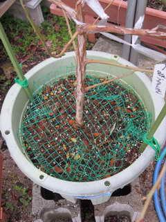 ブルーベリー鉢のコガネムシ対策
