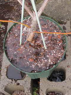 ブライトブルーの灌水実験