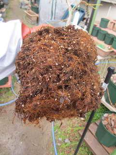 エチョータの根鉢