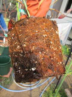 リベイルの根鉢