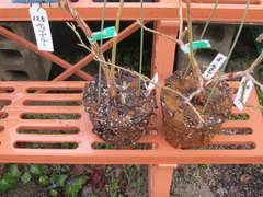ティフブルーの根鉢
