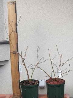 ティフーブルー/ラビットアイ系ブルーベリー、植え替え後