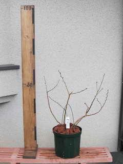パウダーブルー[124]/ラビットアイ系ブルーベリー、植え替え後
