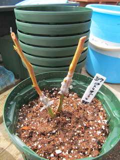接木パトリオットの葉芽を取る