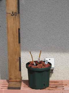 接木パトリオット、植え替え