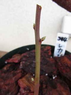 接木レカの葉芽